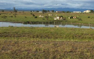 Die Pampa mit Rindern