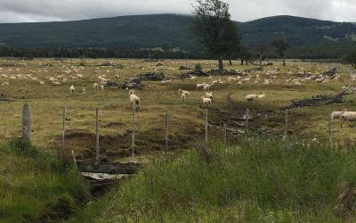 Die Pampa mit Schafen