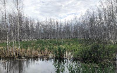 Reine BirkenWälder - vollständig im Wasser