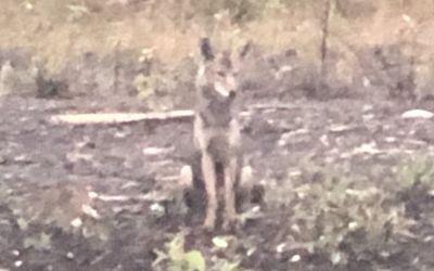 Wer sieht den Wolf?