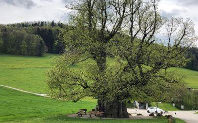 Unglaublicher Baum bei Zinn