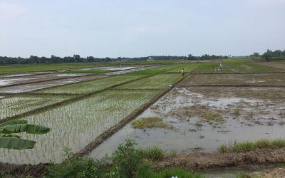 Endlose Reisfelder