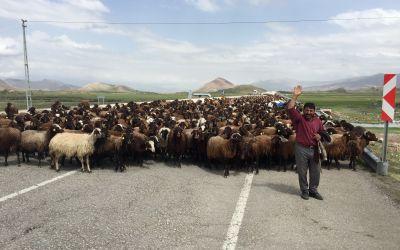 Grosse Schafherden mit noch grösseren Hunden in Anatolien